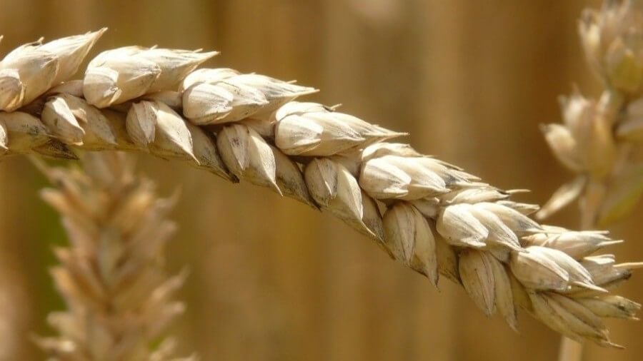 whole wheat vs white bread